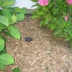 Greywater irrigates under mulch