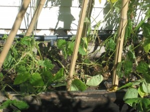 Irrigating a vegi bed- edible portion is above the soil.Irrigating a vegi bed- edible