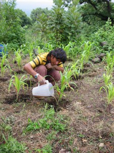 Fertilizing corn with urine (photo from SARAR)
