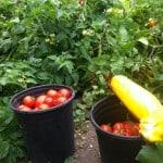 Greywater tomato harvest